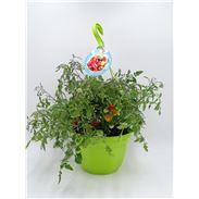 AirGarden Tomate II Solanum lycopersicum