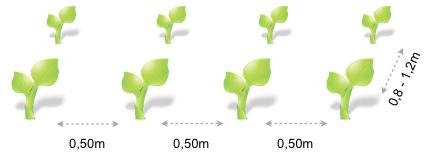 Marco plantacion la coliflor y broquil
